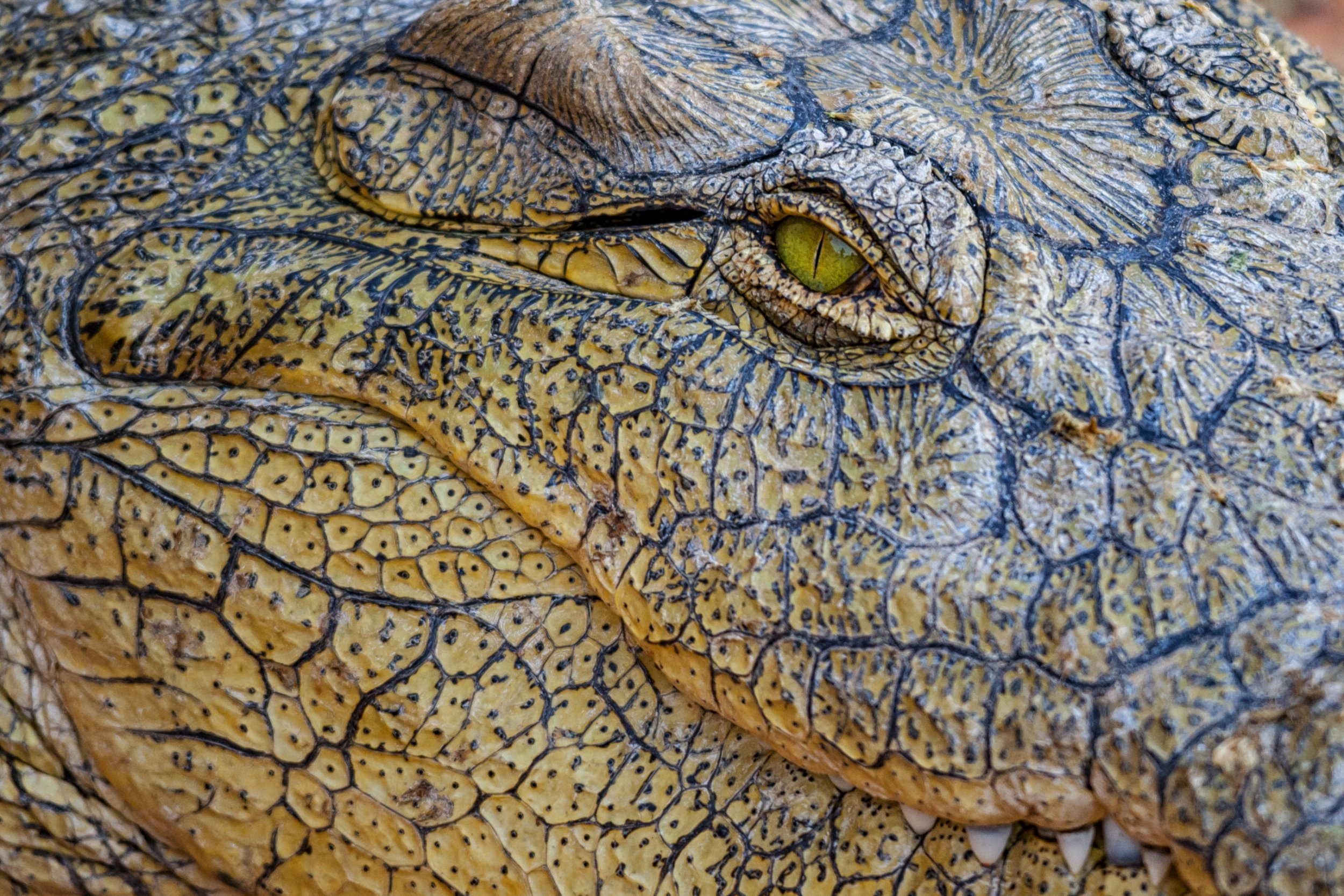 crocodile stock getty