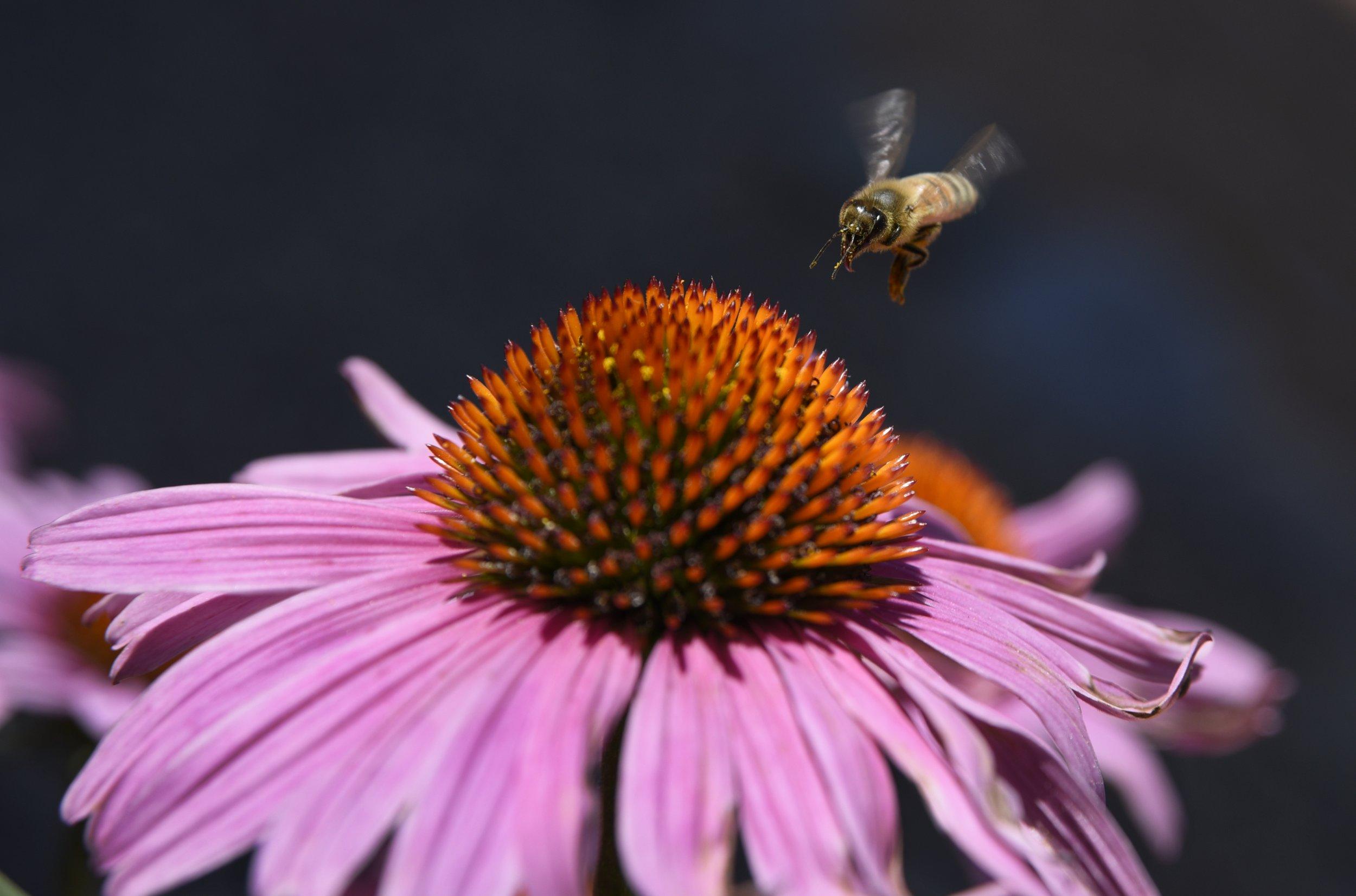 honeybee, New Mexico