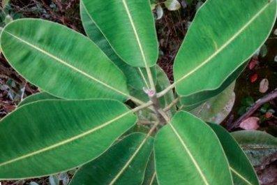 Mauritian plant