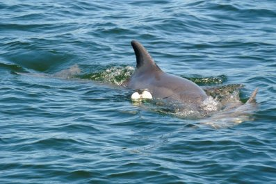 Dophin, Calf