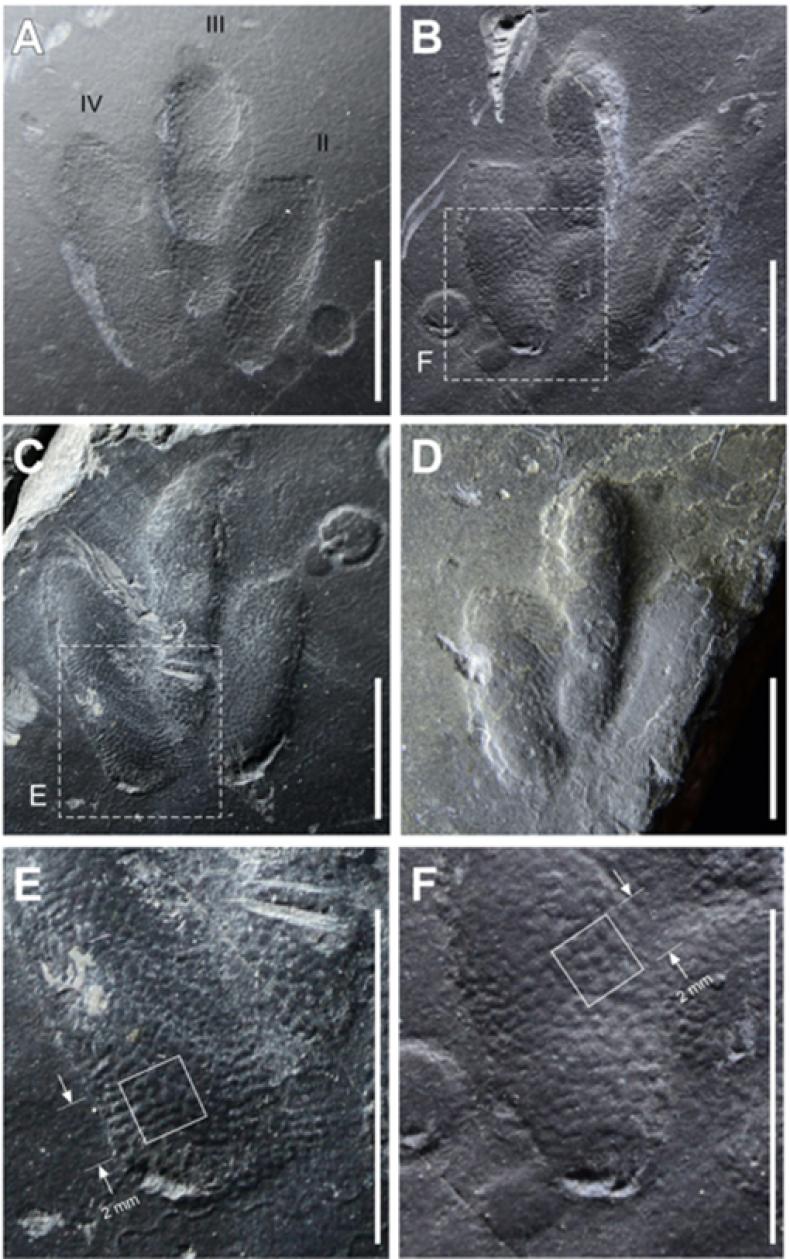 dinosaur footprints, skin traces, Minisauripus