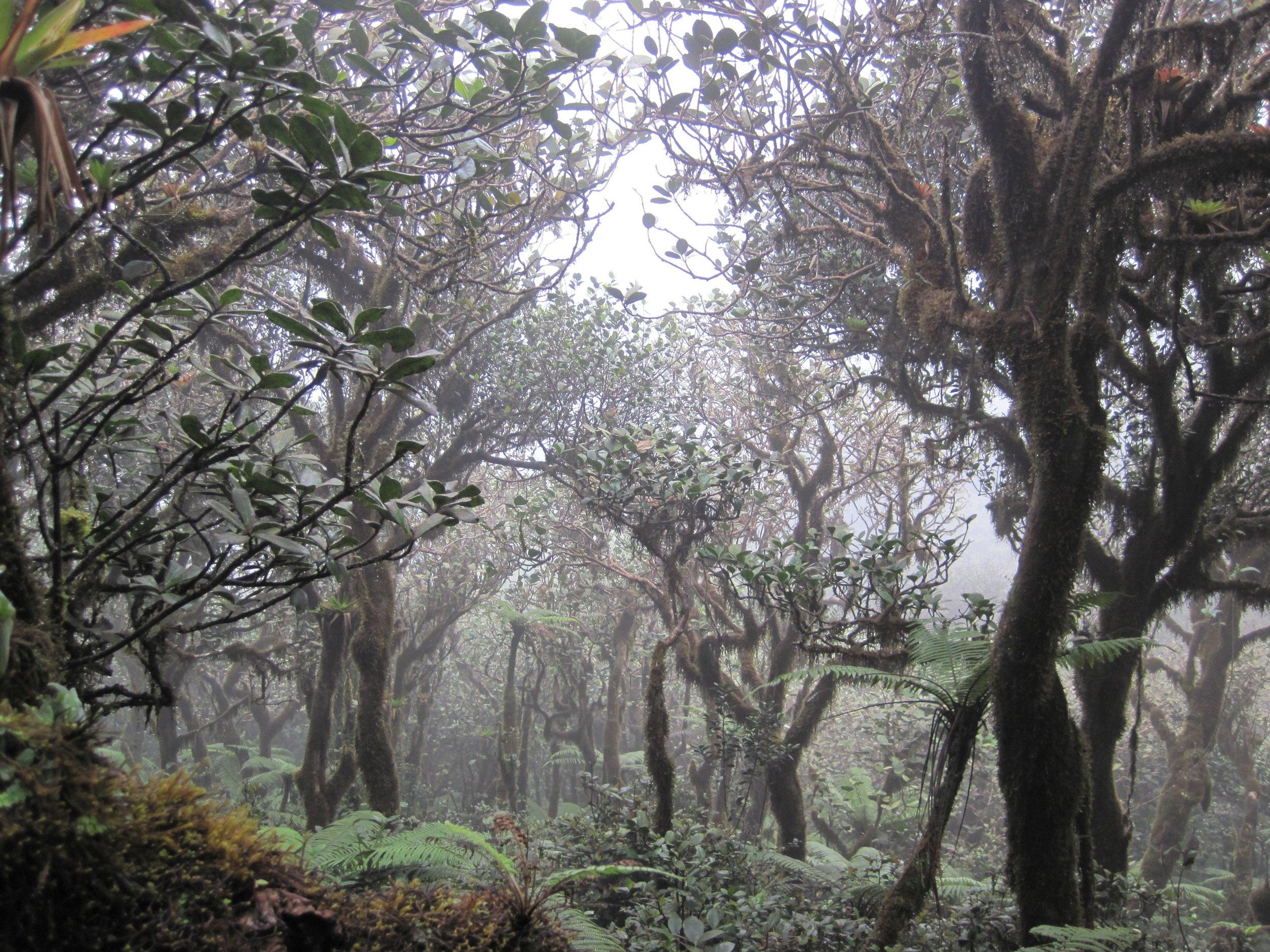 Elfin cloud forest, El Yunque National Forest, Puerto Rico