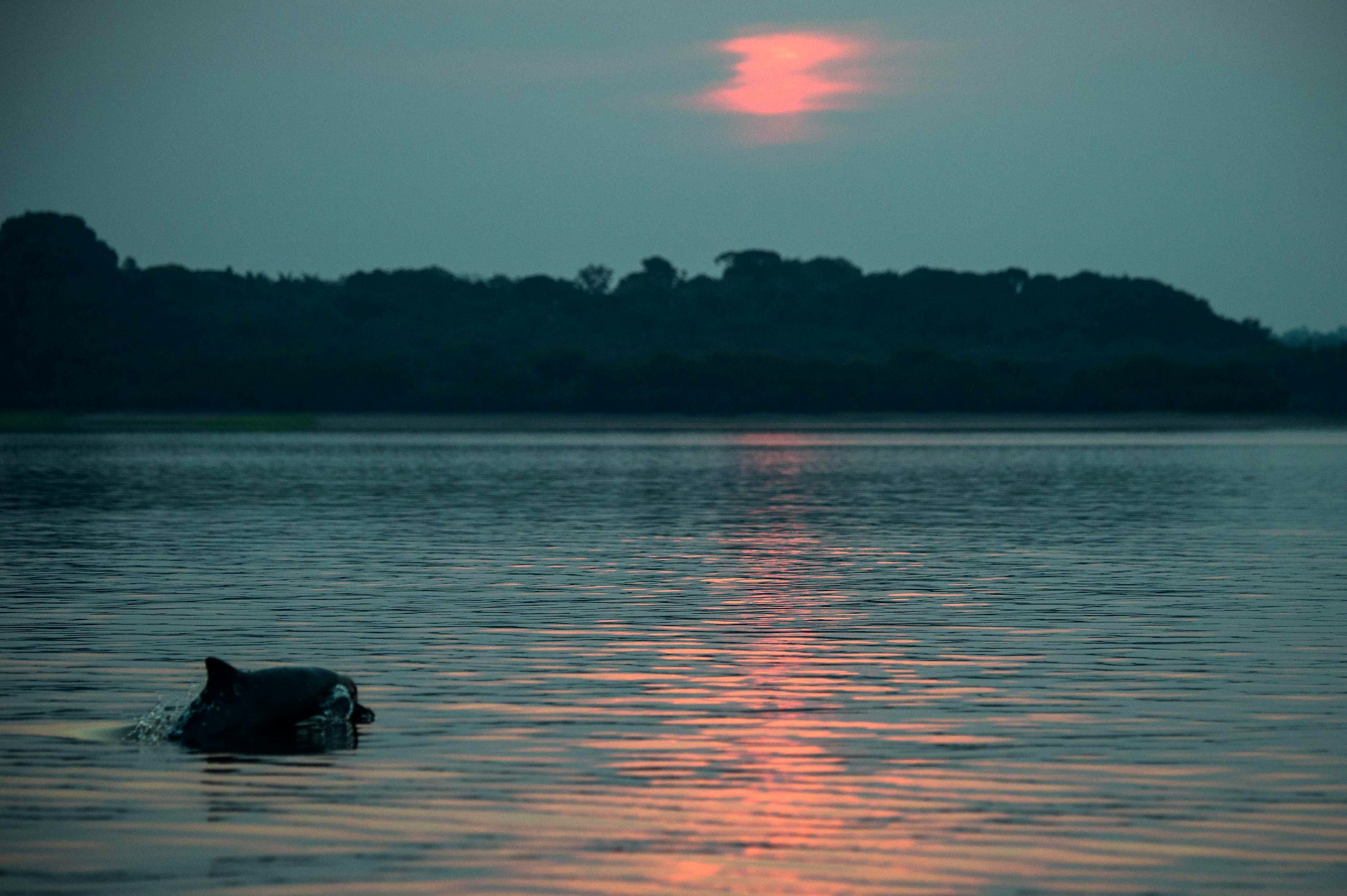 Amazon rainforest, Brazil, Rio Negro, Amazon dolphin