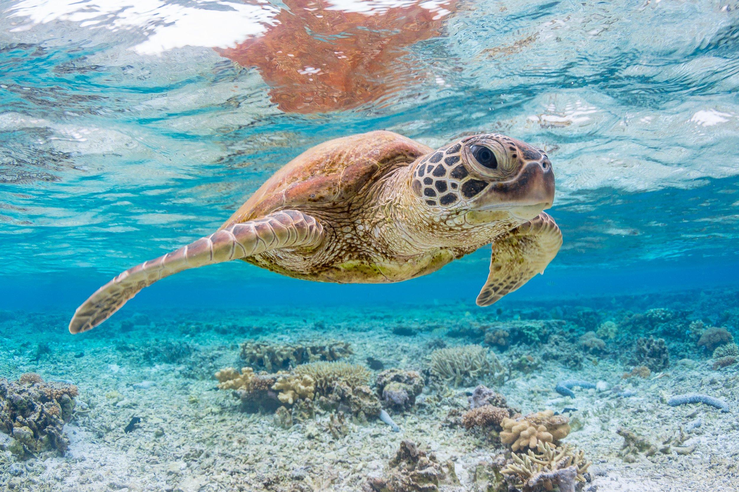 sea turtle stock getty