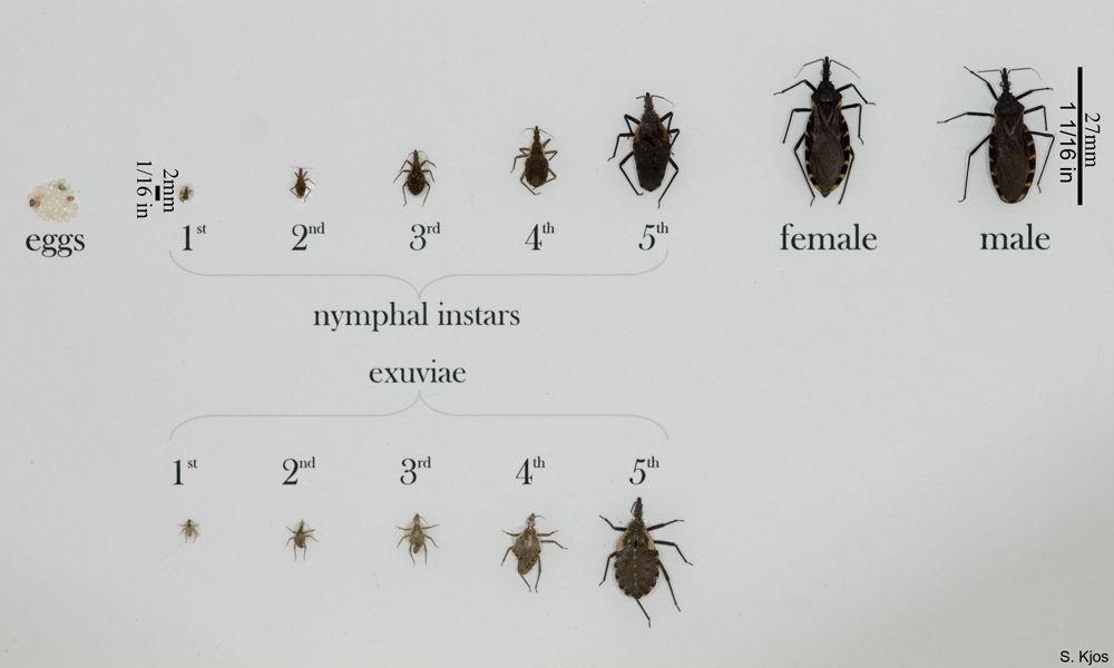Triatoma sanguisuga, kissing bug