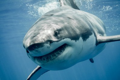 great white shark stock getty
