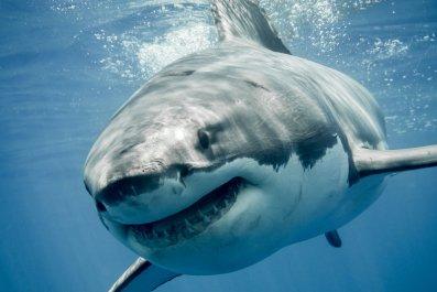 great white shark stock getty