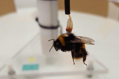 bumblebee, experiment