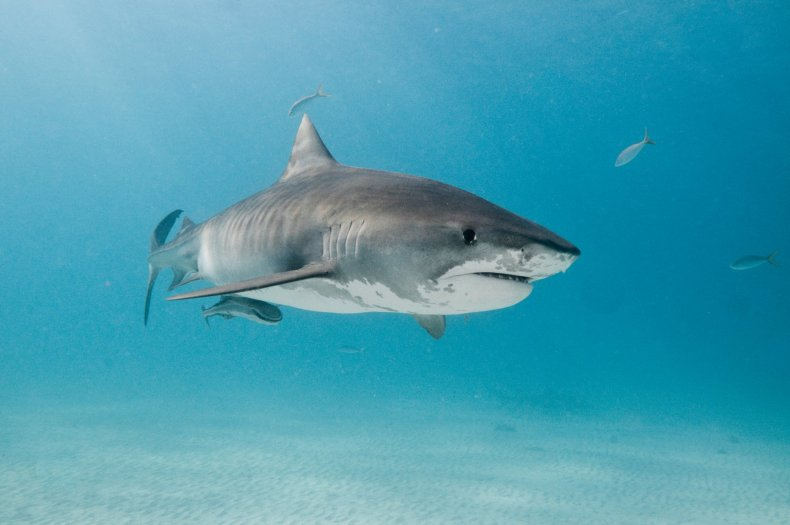 tiger shark stock getty
