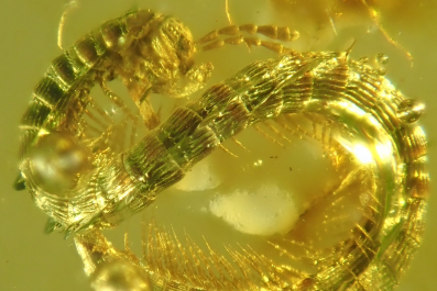 Millipede, Burmanopetalum inexpectatum