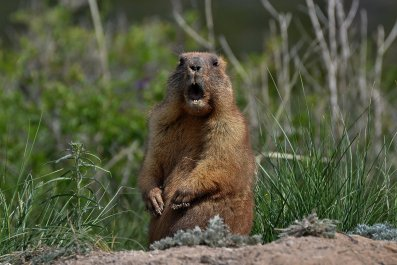 groundhog marmot rodent stock getty