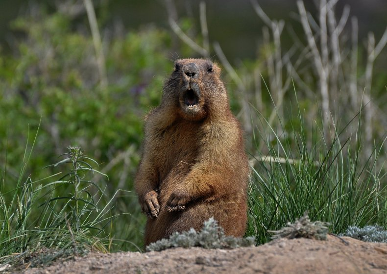groundhog marmot rodent stock getty