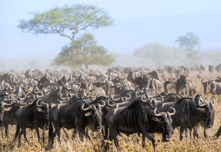 wildebeest migration africa stock getty