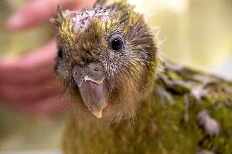 kakapo, brain, surgery, espy1B