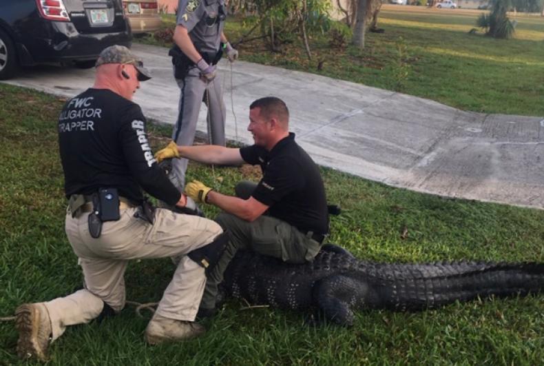 Florida gator2