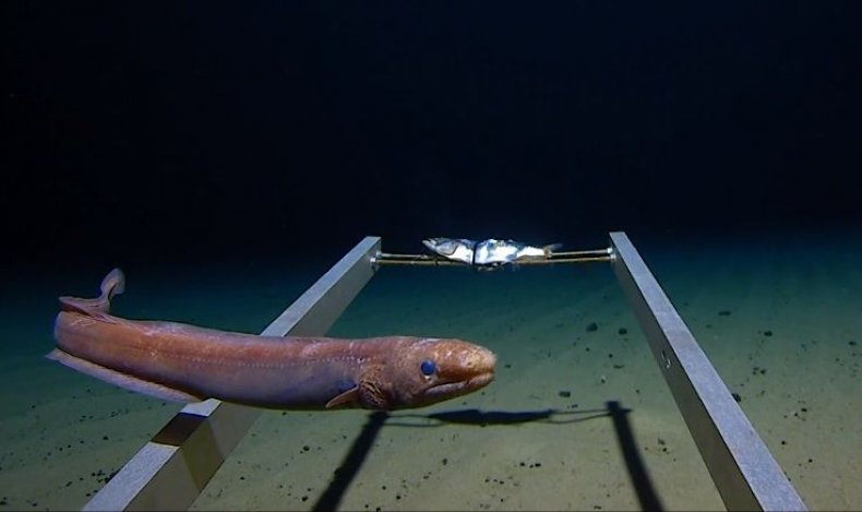 arrowtooth eel mariana trench