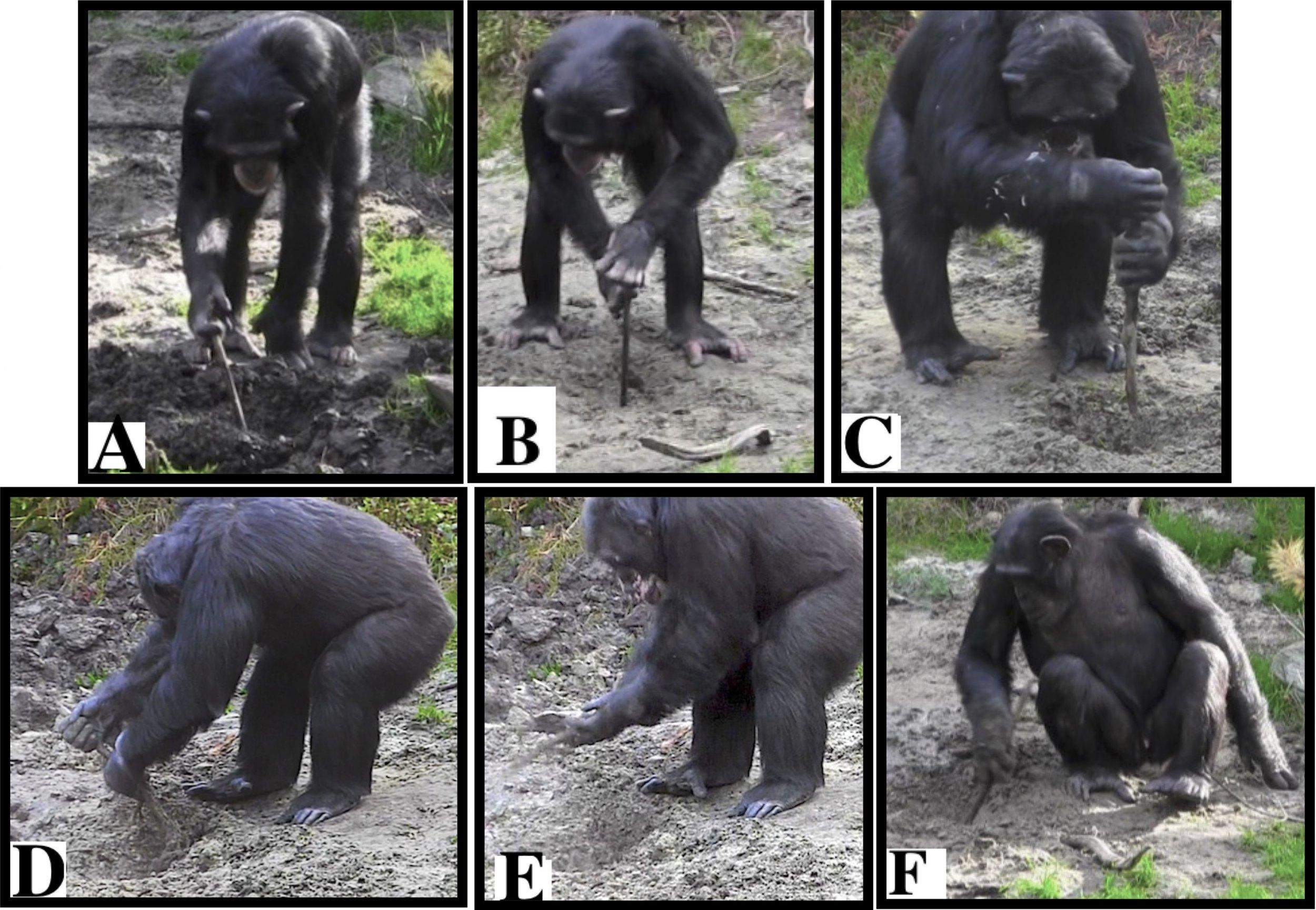 chimpanzees, tool use