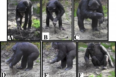 chimpanzees, tool use