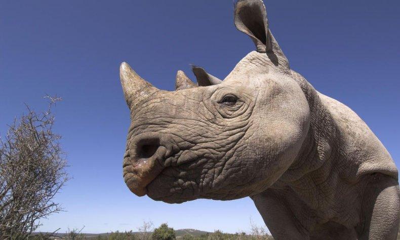GPN257587_black_rhino
