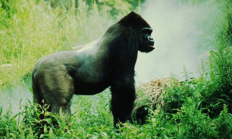 eastern_lowland_gorilla_7