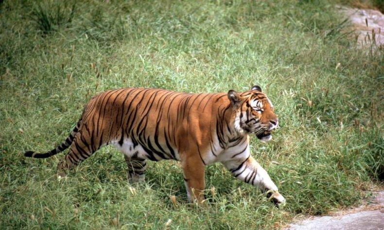South_China_Tiger_8