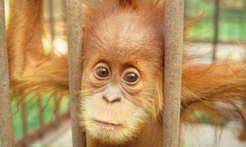Captive_Orangutan_07