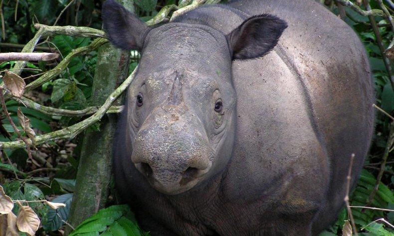 Sumatran_Rhino_8