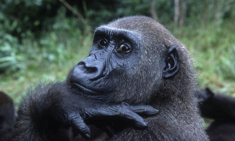 western-lowland-gorilla-circle-HI_105193
