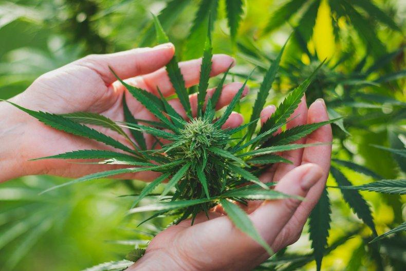 cannabis weed marijuana stock getty