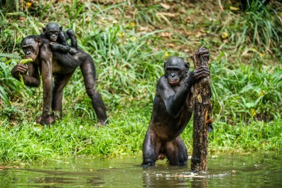 bonobo monkey stock getty