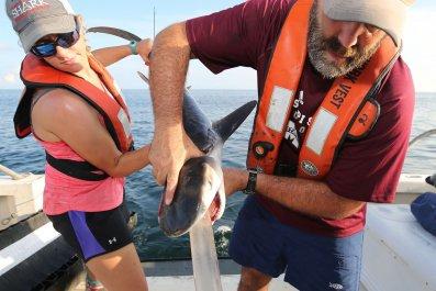 Marcus Drymon tiger shark