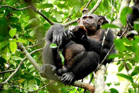 chimpanzee, tortoise