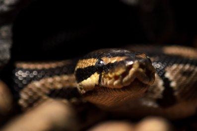 Snake, Toilet