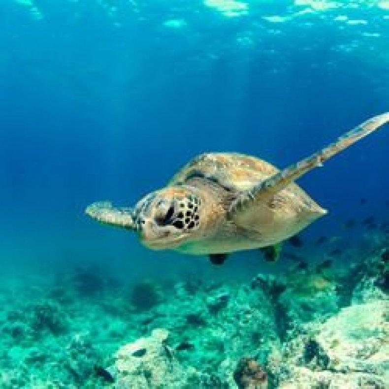Kokomo fiji turtle