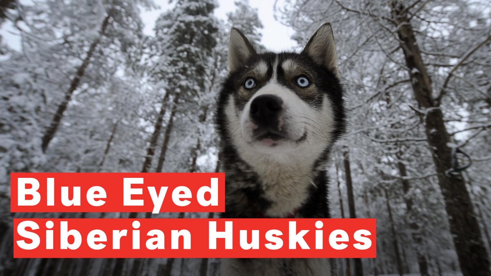 Husky Geschenk H/ört aufs Wort lustiges Husky Sweatshirt Husky