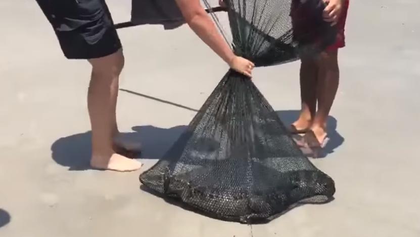 Alligator in Florida Sea