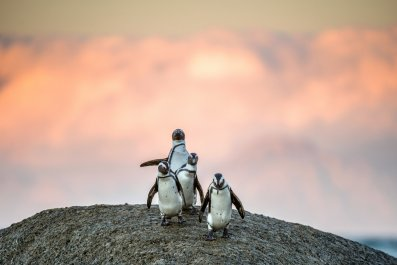 african penguins bolder stock getty