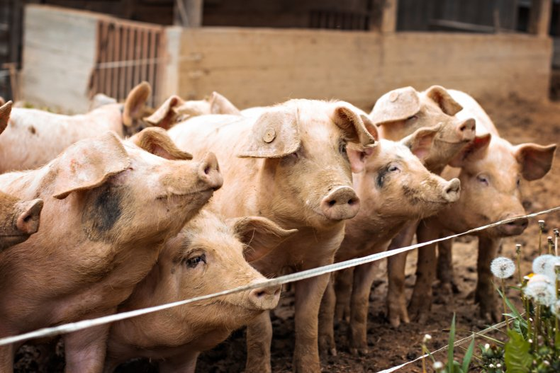 pigs farm animal stock getty