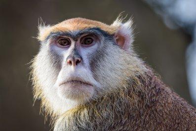 Monkey, Israel, Lebanon