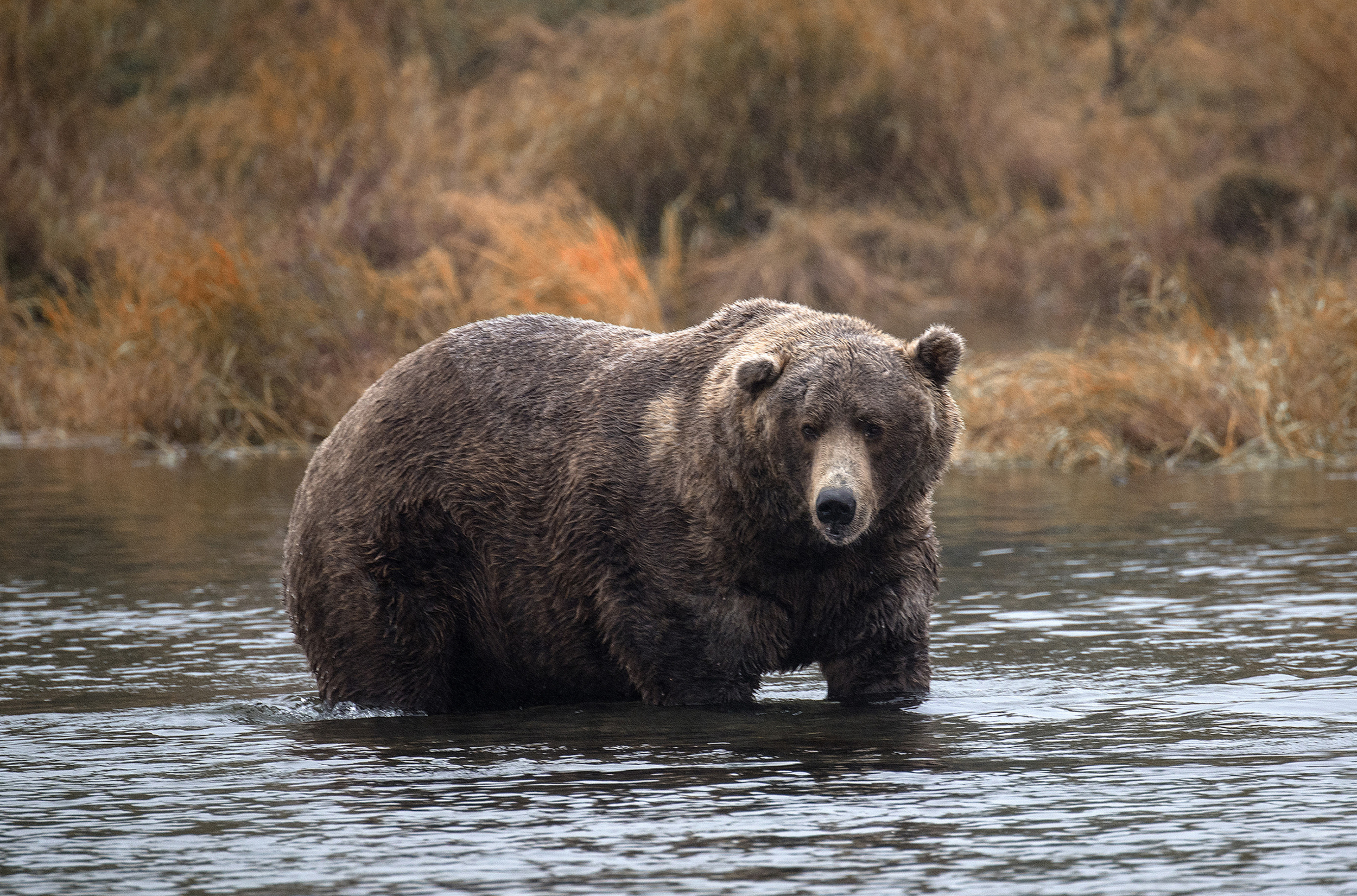 Fat Bear Week 2020: Park Crowns Over 1,400 Pound Bear the