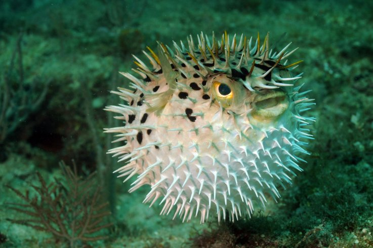 Florida Man + cocaine = eats puffer fish liver, ends up in intensive care