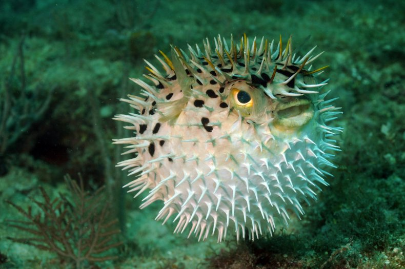 puffer fish blow fish getty stock