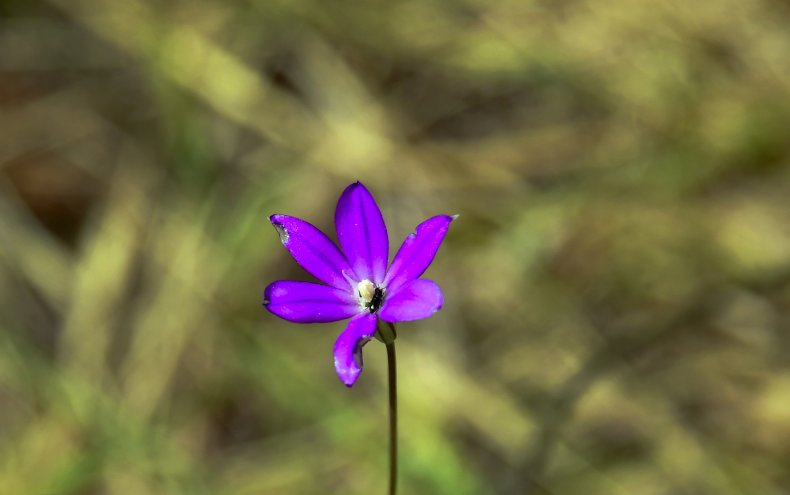endangered Brodiaea plant