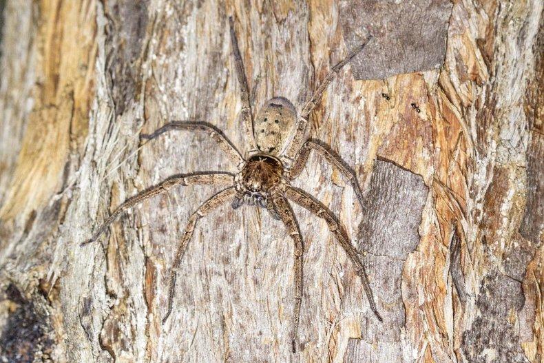 huntsman spider, possum