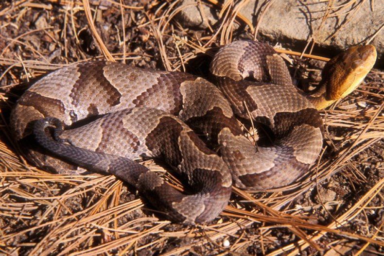 Pennsylvania Woman Bitten By Venomous Snake That Jumped Out At Her While She Was Doing Laundry