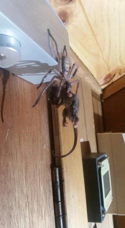 Spider, Huntsman, Possum