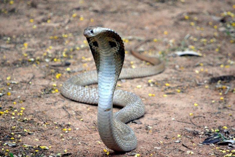 snake, cobra, stock, getty,