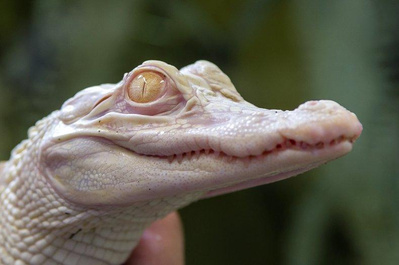 Baby Albino Alligator