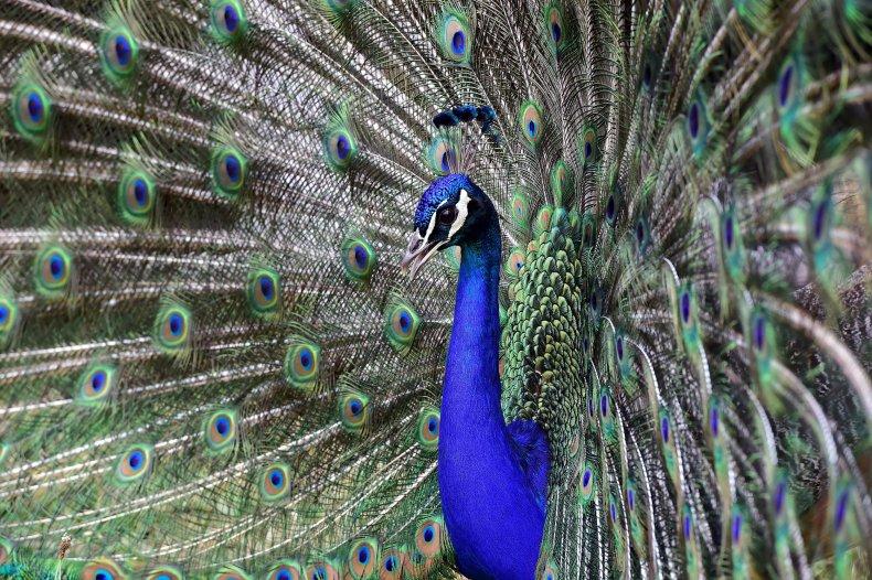 A peacock