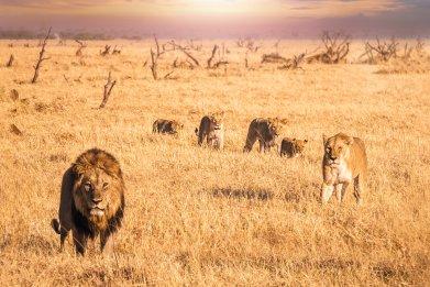 Lions Safari